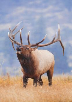 Elk - Postcard