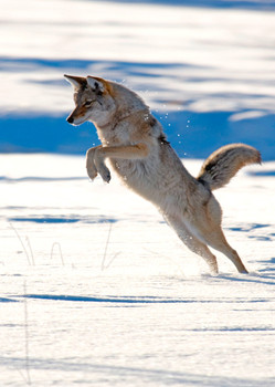 Coyote pouncing - Postcard