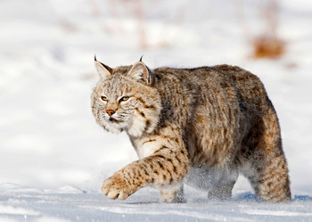 Bobcat in the snow - Postcard