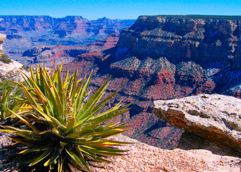 Grand Canyon and yucca - Postcard