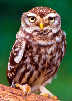 Owl Little Postcard