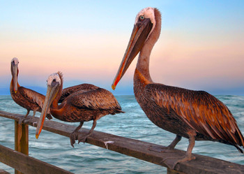 Pelicans - Postcard