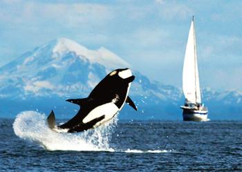Whale Orca breaching - Postcard
