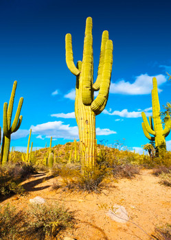 Saguaro Cactus - Postcard