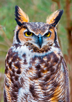 Owl, Great Horned - Postcard