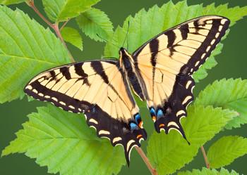 Butterfly Swallowtail - Postcard