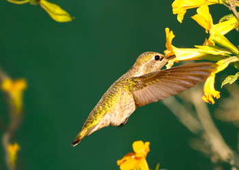 Hummingbird Anna's - Postcard