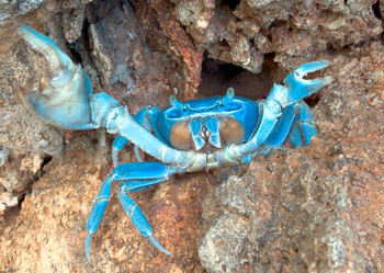 Crab, Blue - Postcard