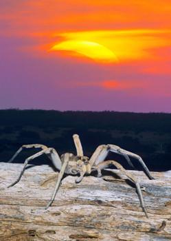 Spider Wolf - Postcard