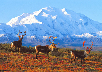 Denali Nat Park and Caribou - Postcard