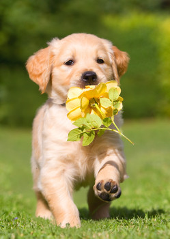 Dog, Golden Retriever puppy with rose - Postcard
