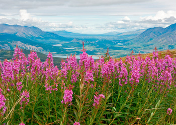 Fireweed - Postcard