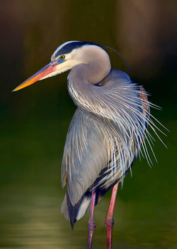 Heron, Great Blue - Postcard