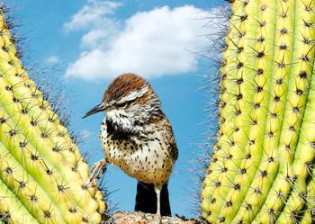 Cactus Wren - Postcard