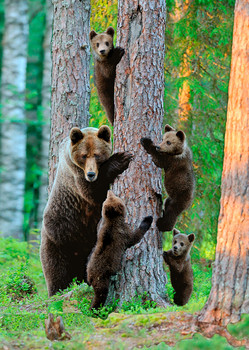 Bear, Grizzly family - Postcard