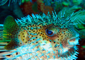 Pufferfish Postcard