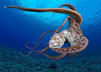 Octopus - Postcard