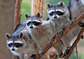 Raccoons - Postcard