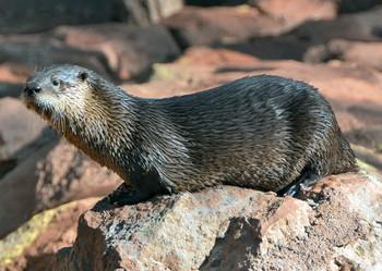Otter, River - Postcard