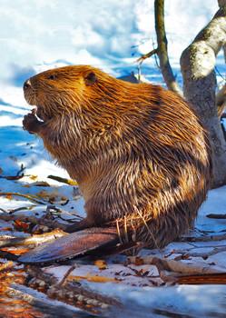 Beaver - Postcard