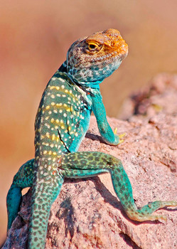 Lizard Collared - Postcard