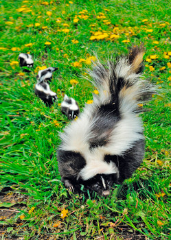 Skunk family - Postcard