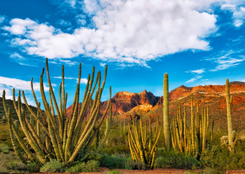 Organ Pipe Cactus - Postcard