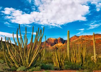 Organ Pipe Cactus Postcard