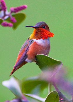 Hummingbird, Rufous - Postcard
