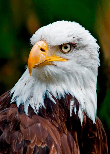 Eagle face Large Card