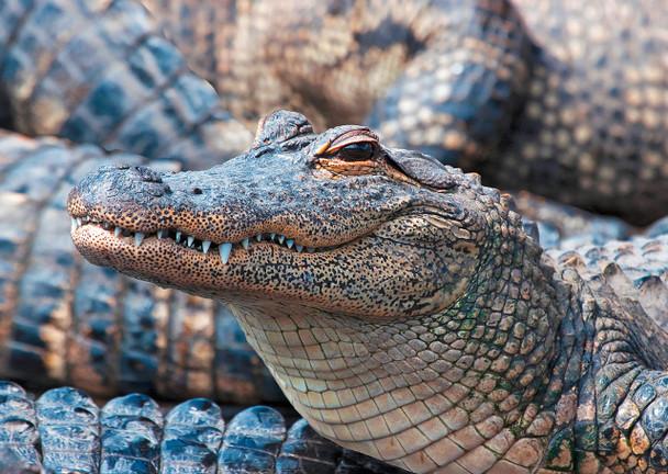 Alligator, American 2 - Postcard