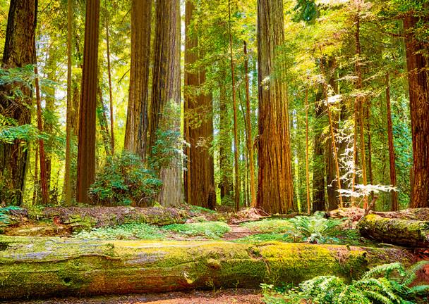 Redwoods National Park Postcard