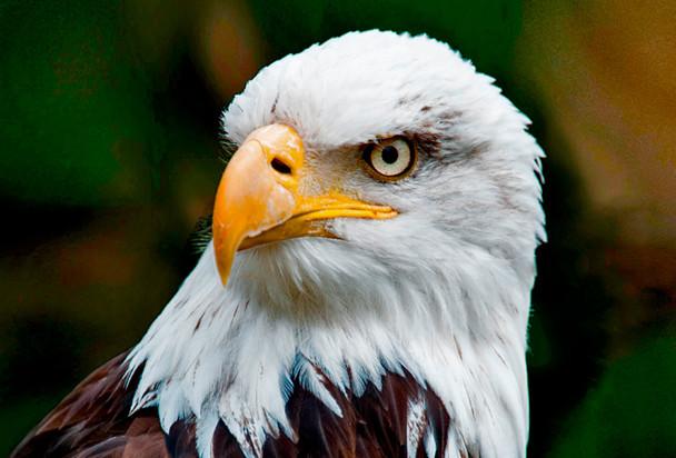 Eagle Face - Magnet