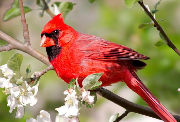 Cardinal - Magnet