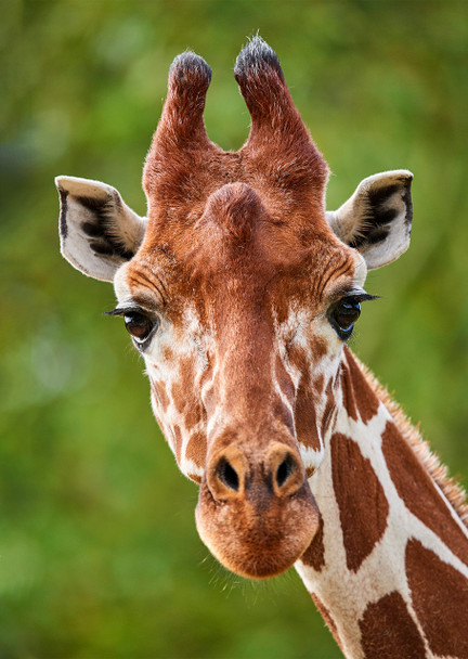 Giraffe close-up - Postcard