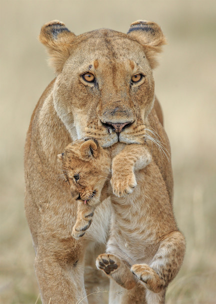 Lioness carrying cub - Postcard