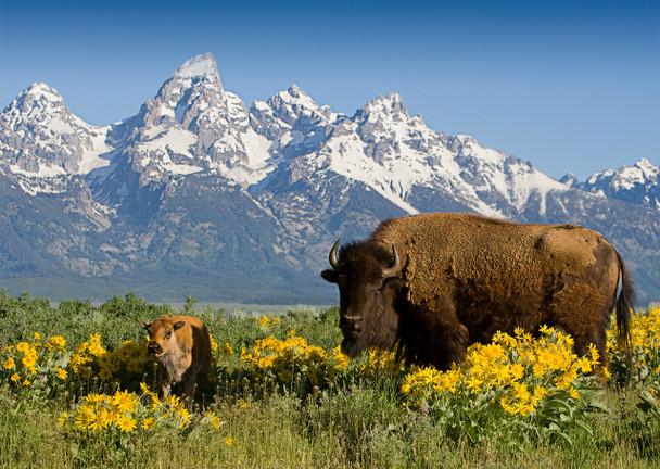 Teton Range with Bison - Postcard