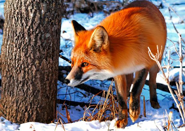Fox Red Postcard