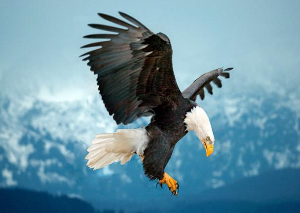 Eagle landing Postcard