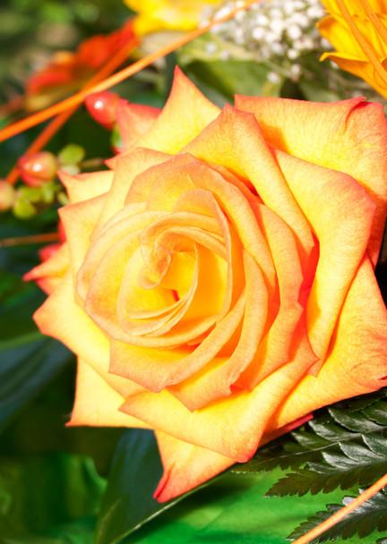 Rose 5 Postcard