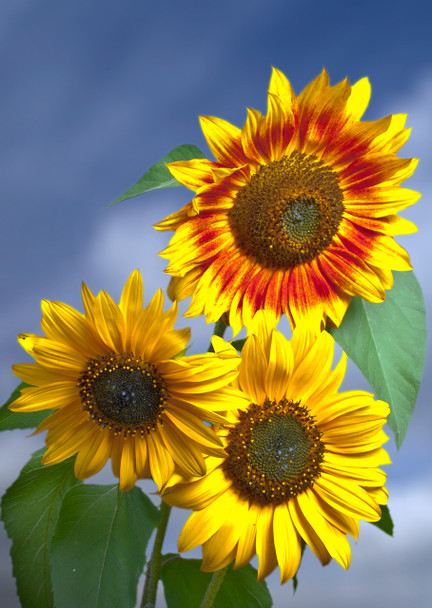 Sunflower 2 Postcard