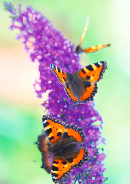 Lilac with butterflies - Postcard