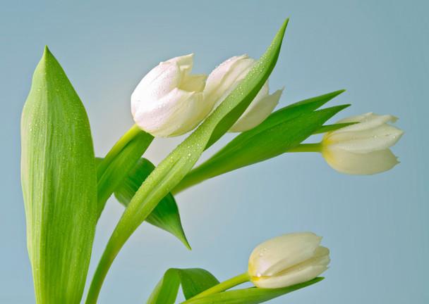 Tulips 3 - Postcard