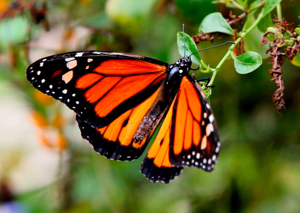 Butterfly, Monarch 1 animated - Postcard