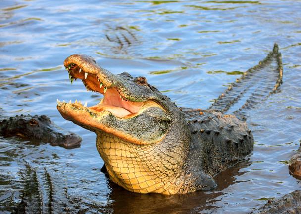 Alligator American - Postcard