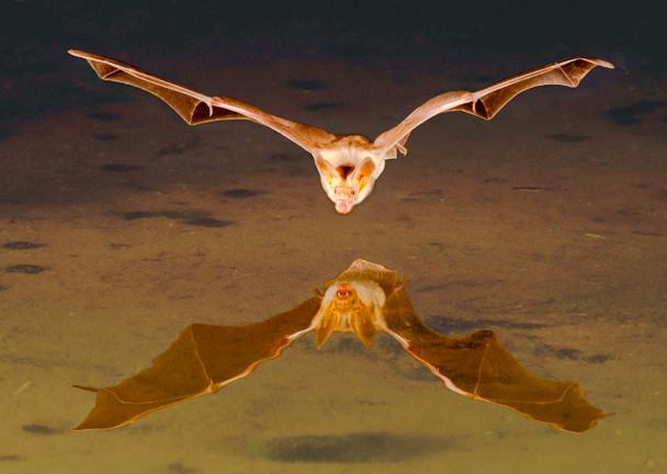 Bat Brown - Postcard