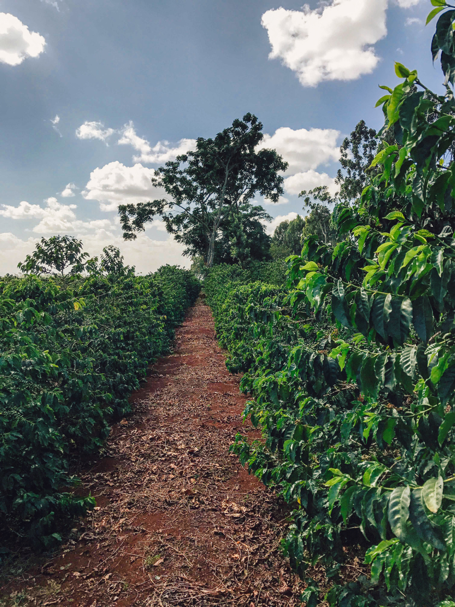 Fonte Coffee AA Blend Citrus, Cabernet, Nutty, Cherry Balanced Tasting Notes From East Africa and Central America