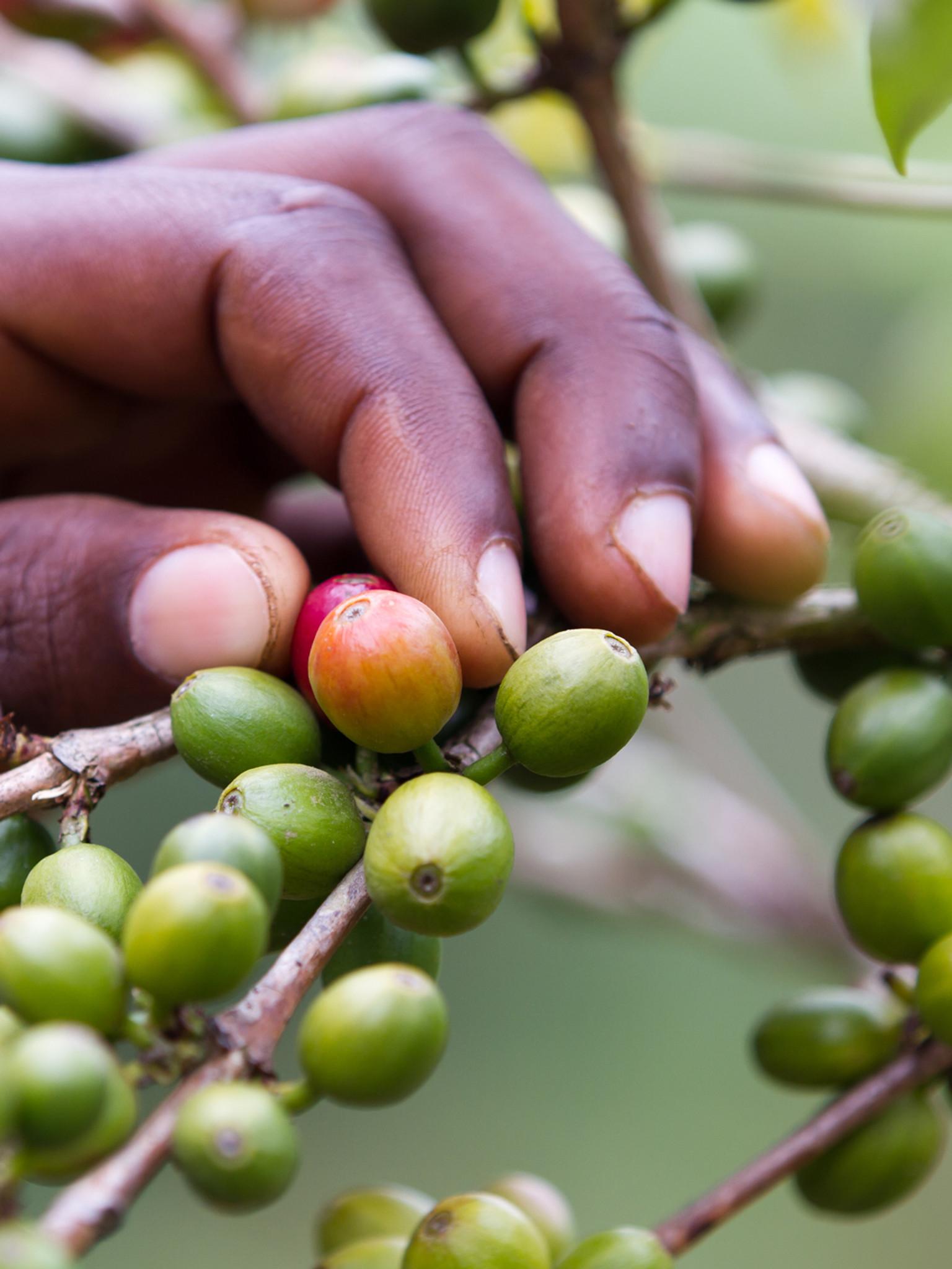 Kenya Gatuya AA