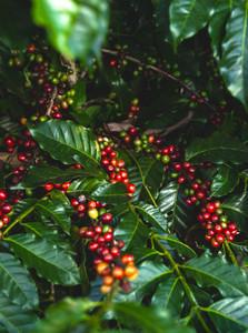 Apaneca Region, Illamatepec Region, Fonte Coffee Roaster, El Salvador, El Salvador Finca El Carmen Natural