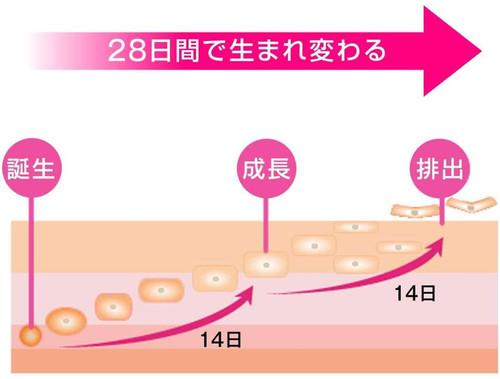 Цикл обновления кожи
